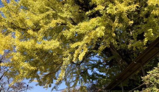 【中津川市の紅葉】阿木の長楽寺で大イチョウのライトアップが開始